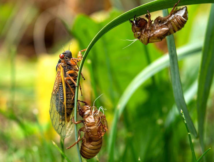 Expect good topwater action during this summer's Brood X cicada hatch. Image by Liz Albro Photography / Shutterstock
