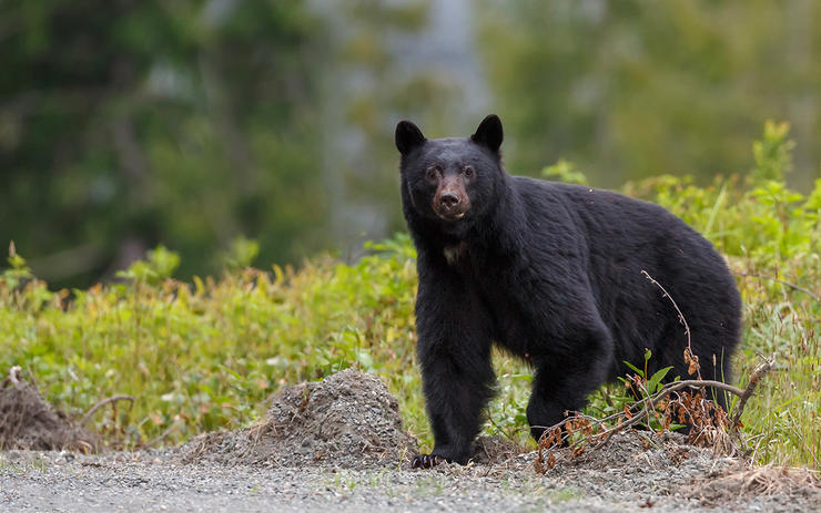 Idaho is one of the few states in the Lower 48 that allows baiting for spring bears. Image by Shutterstock / Mennos Schaefer