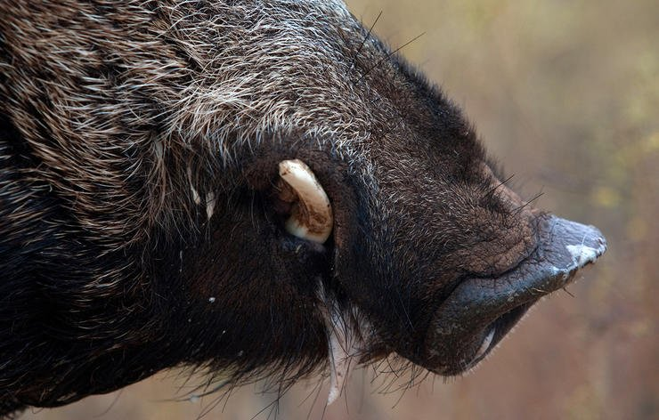 Many outfitters offer day hunts that are good for a couple meat hogs, or one trophy boar. Image by Russell Graves