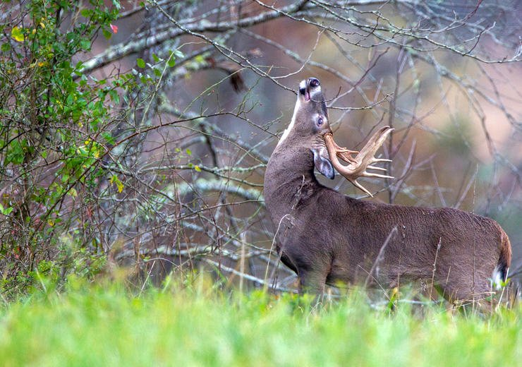 Hunting up high on a ridge can seal the deal on a big pre-rut buck. Image by Russell Graves
