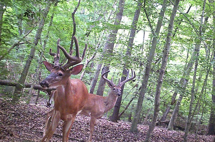 Early-season bucks are at their most vulnerable, perhaps even more so than during the rut. Image by Will Brantley