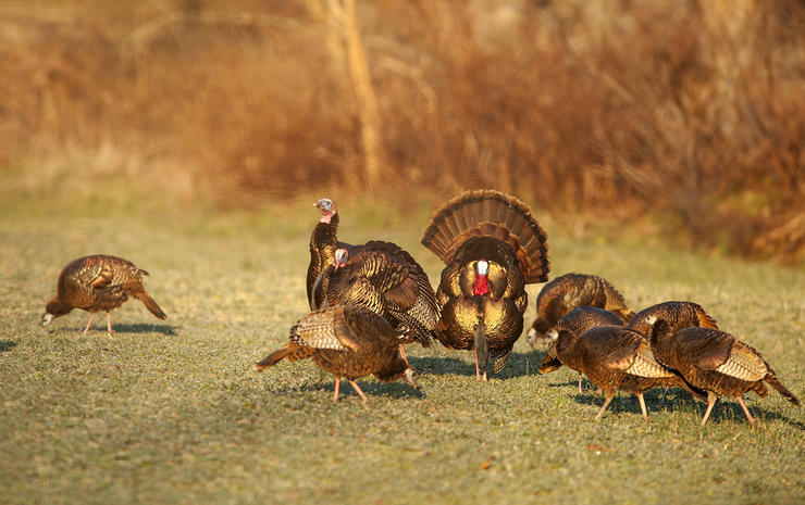 """Two old-school measures of """"tough to hunt"""" states include shut-mouthed or henned-up strutters. Image by Bill Konway"""