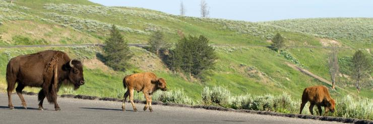 Yellowstone tourists ticketed for putting bison calf in vehicle. ©Martha Marks/Shutterstock