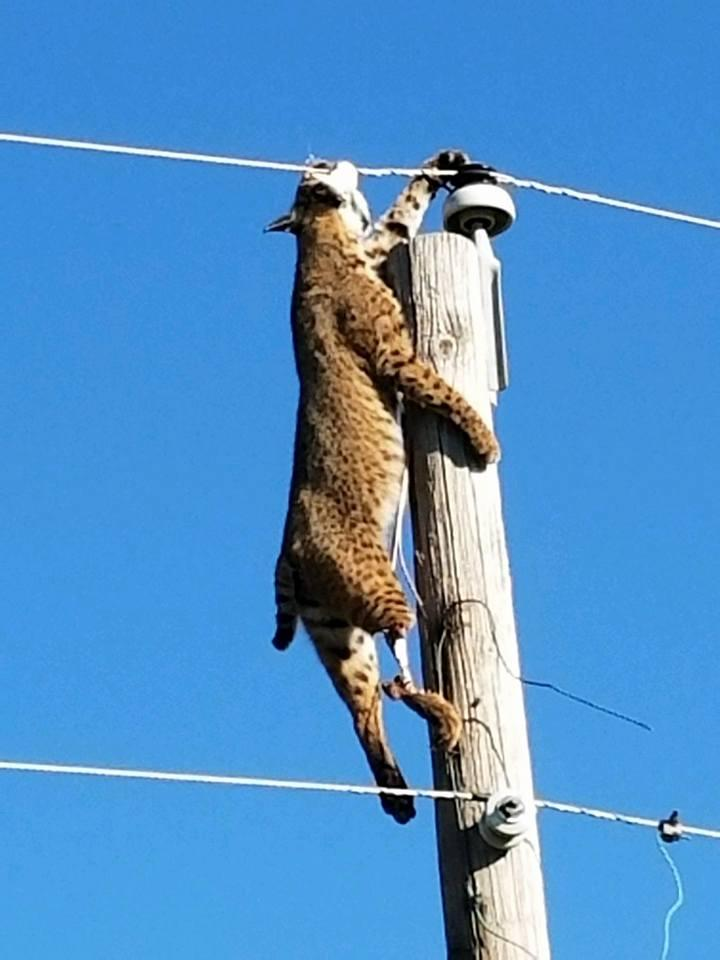 A Wheatland lineman discovered a bobcat dangling from the line. Photo by Chris Oliver