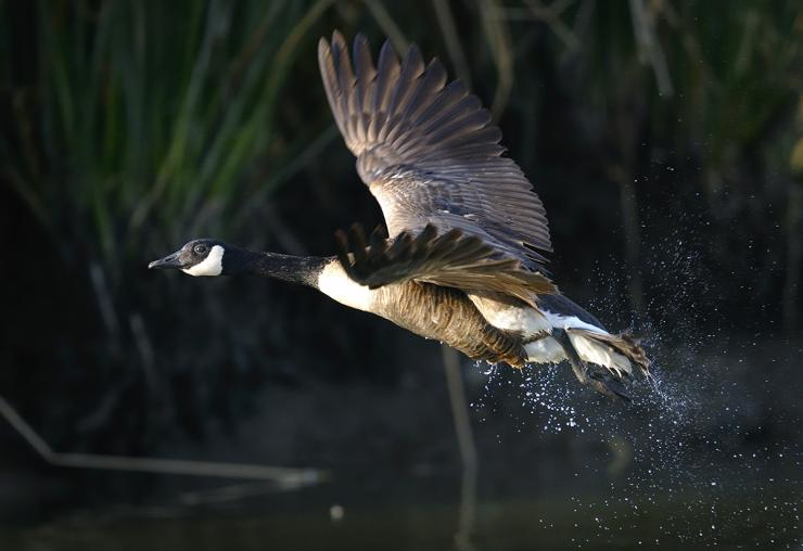Local Canada geese might seem gullible to the uninitiated, but these birds are sharp and skilled at avoiding hunters. Photo © Arto Hakola/Shutterstock