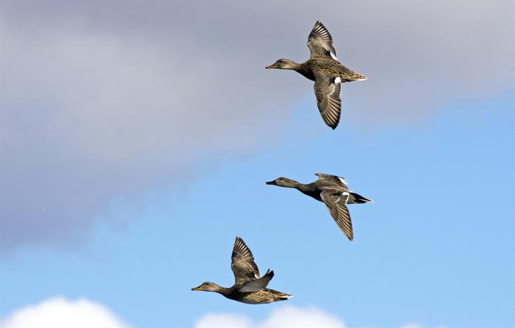 As always, gadwalls are abundant throughout northern portions of the Central Flyway. Photo © A.S. Floro/Shutterstock