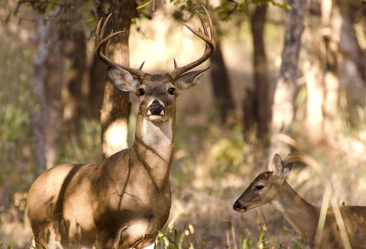 What Are Your Thoughts On Buck To Doe Ratios Shutterstock Berry