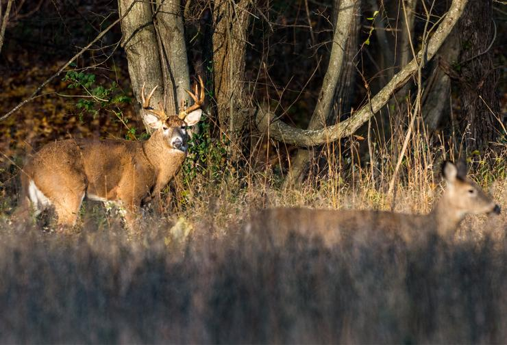 Have you ever witnessed a buck tend a doe? (Shutterstock / Bryan Patton photo)