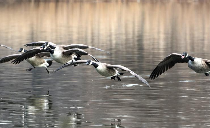 Hunting loafing waters or running traffic on lakes and rivers can pay big dividends on Canada geese. Photo Elliotte Rusty Harold/Shutterstock