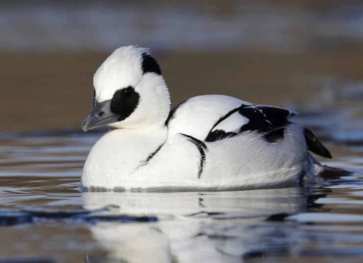 Behold the mighty smew — the author's mythical fourth merganser in the sawbill slam. Photo © Erni/Shutterstock
