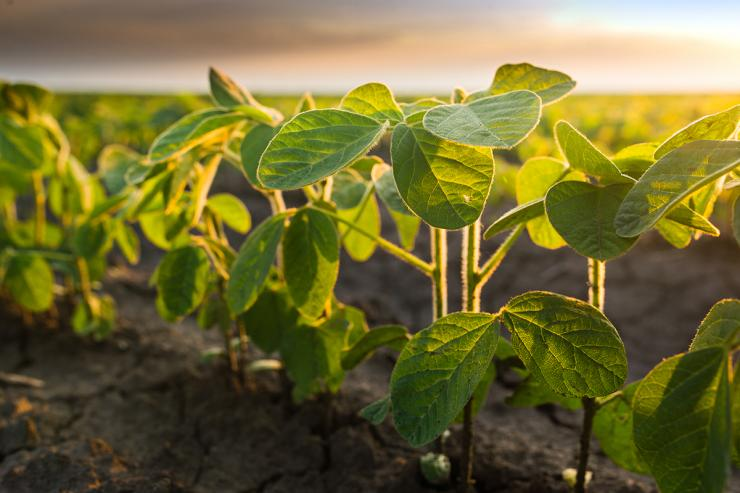 Do you plant soybeans for deer? (Shutterstock / Fotokostic photo credit)