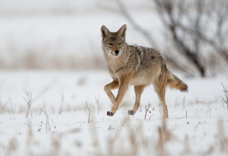 Ever hunted coyotes in the snow? (c) Russell Graves photo