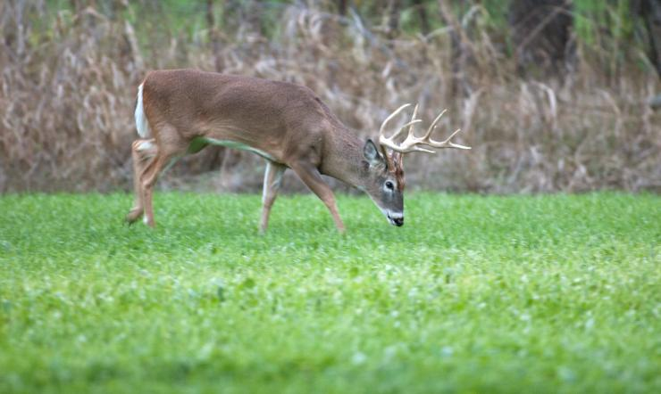 What types of plants do you put in your fall food plots? (Russell Graves photo)