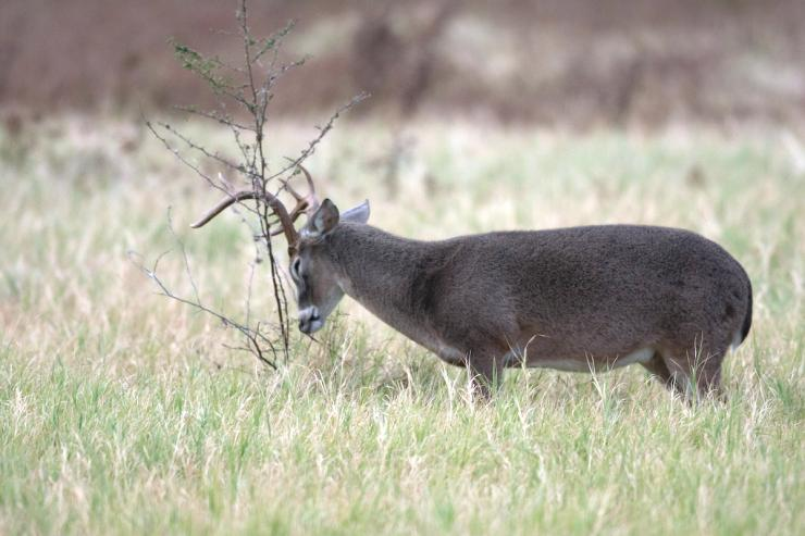 Have you ever killed a pre-rut buck? (Russell Graves photo)