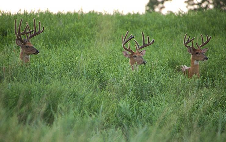 A velvet buck is within reach if you do your homework beforehand. (Heartland Bowhunter photo)