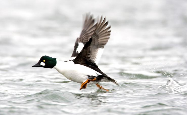 With thick feathers and amazing diving ability, the goldeneye is a tough customer. But is it the most rugged duck? Photo © Images on the Wildside