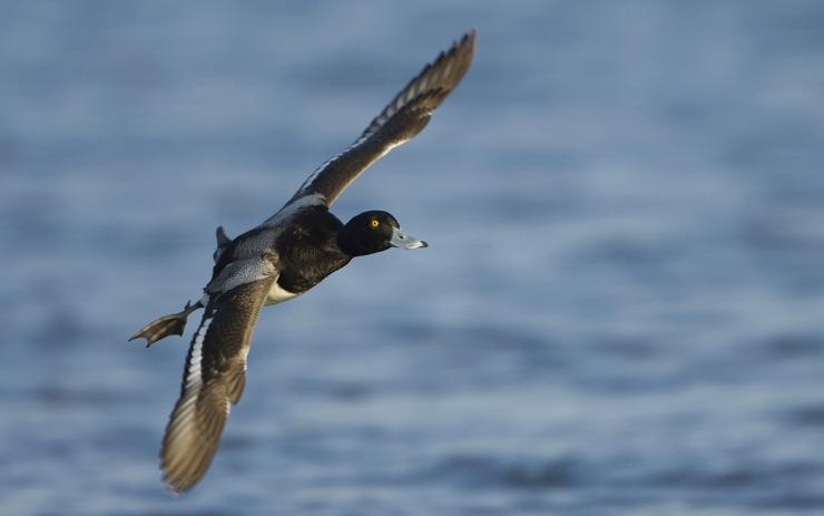 Bluebills might be somewhat spotty this season in the Pacific Flyway, but other species are abundant. Photo © Images on the Wildside