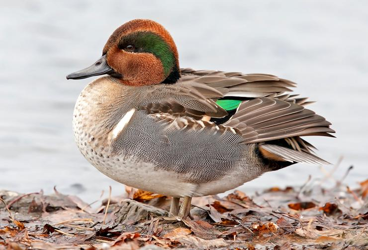 There seems to be no shortage of greenwings and gadwall through the Pacific Flyway, and hunters are taking advantage. Photo © Jim Cumming/Shutterstock