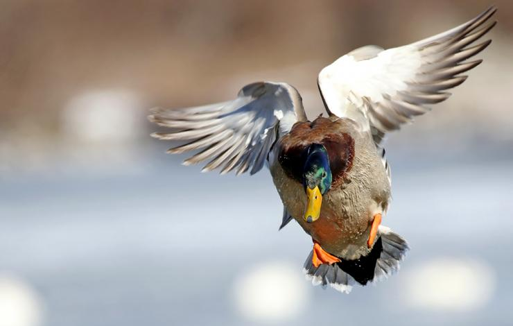 Here's the zenith of duck hunting — a gorgeous greenhead cupped and committed. Photo © Jim Nelson/Shutterstock