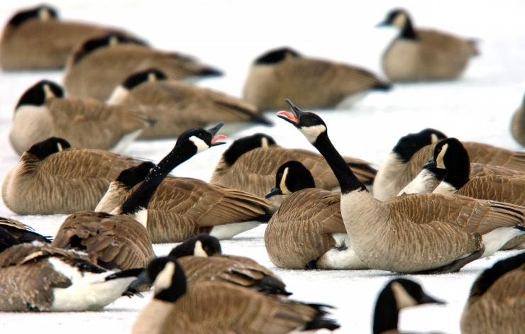 Many dark geese defy winter, hanging in the North and loading up on waste grain. Photo © Bill Konway