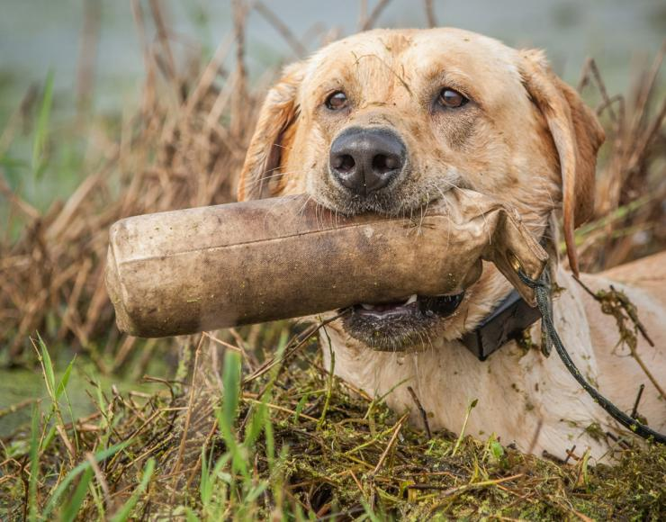 Hunting holds more surprises and temptations than training. Make sure your duck dog is ready. Photo © Bill Konway