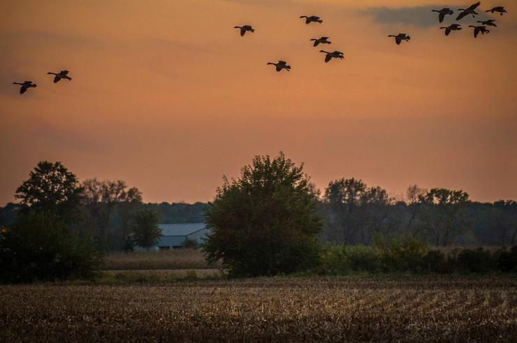 Pressured ducks and geese often feed at night, making hunting efforts extremely dificult. Photo © Bill Konway