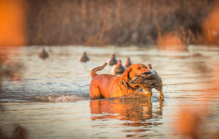 Hunting dogs face many potential dangers afield. Learn how to keep your best buddy healthy and happy. Photo © Bill Konway