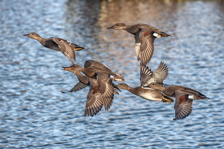 """Hunting pressure has turned the formerly """"easy"""" gadwall into a real duck. Photo © Mark Christopher Cooper/Shutterstock"""