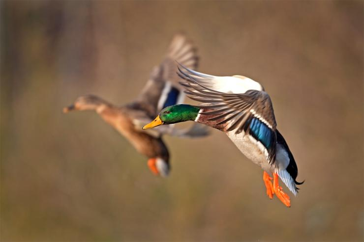 For most duck hunters, mallards are tops, and it's easy to see why. Photo © Martin Prochazkacz/Shutterstock