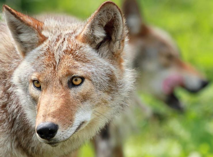 Coyotes often come to turkey calling. (Karl Umbriaco/Shutterstock photo)