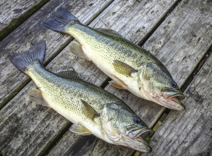 Contrary to occasional opinion, bass are pretty tasty. Try this blackened recipe the next time you keep a few.