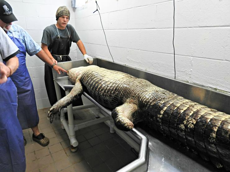 The guys at Mineral Springs Seafood prepare to process a trophy gator.