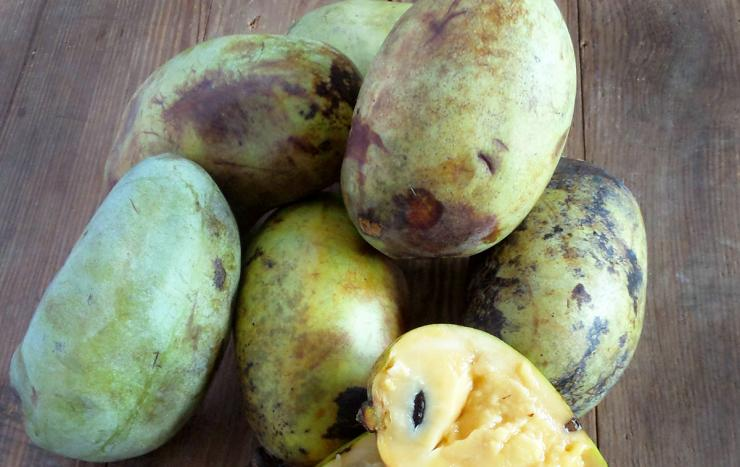 The pawpaw is a large fruit, with green skin that browns when ripe and creamy yellow flesh.