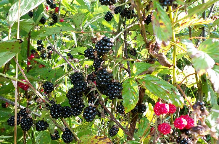 Fresh blackberries abound in the summertime, but they don't last long. Take advantage and pick as many as possible.