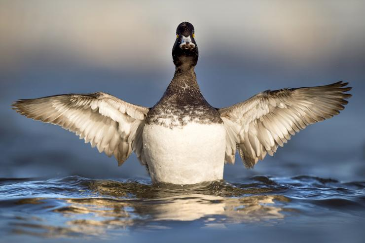 Diving ducks are built differently than their puddler cousins, often congregating on large waters. Photo © Ray Hennessy/Shutterstock