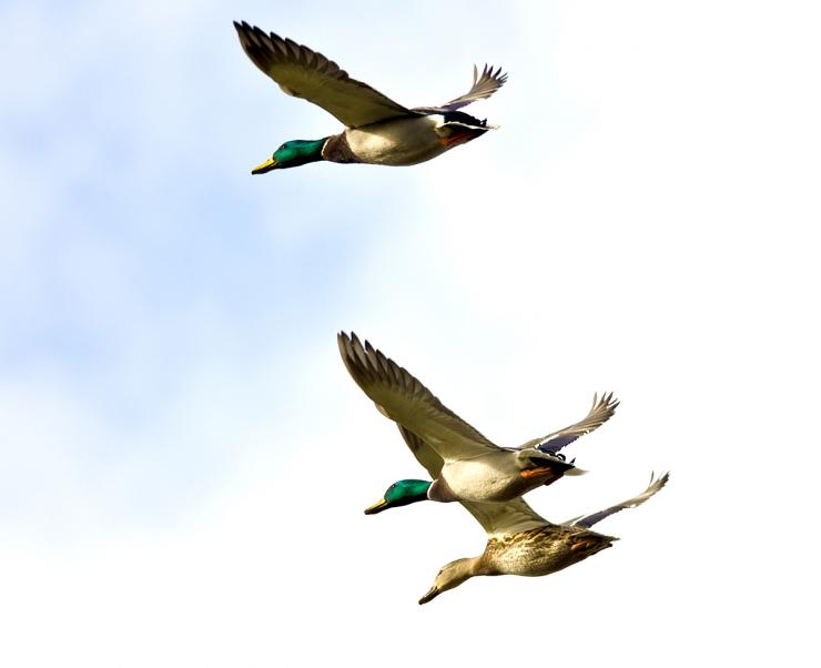 Mallards are fairly easy to identify in flight. Other ducks might confuse you, especially during low light or cloudy days. Photo © Rck_953/Shutterstock