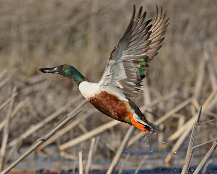 Spoonies get a bad tap, but they're a unique, interesting duck. Photo © Robert L. Kothenbeutel/Shutterstock