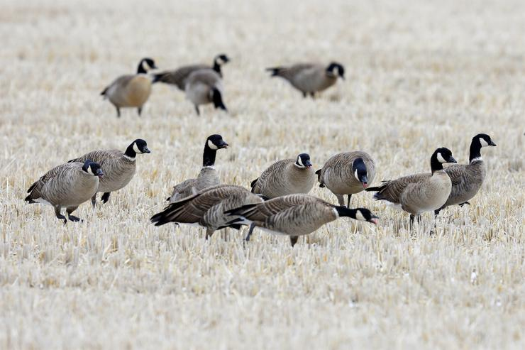 Cackling geese closely resemble Canadas but are generally much smaller. Photo © Rock Ptarmigan/Shutterstock