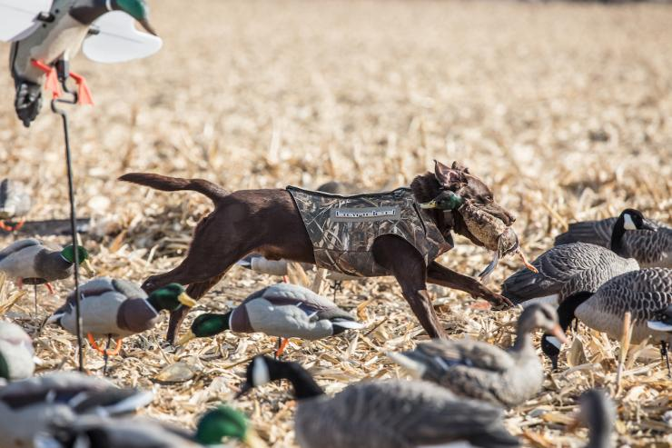 You'll often boost success by mixing decoys of various duck species — and even geese. However, birds sometimes stick with their own kind. Photo © Tom Rassuchine/Banded