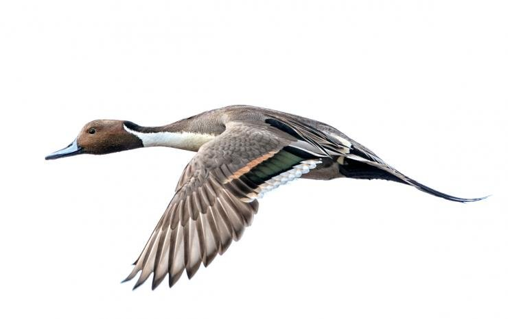 The U.S. Fish and Wildlife Service is calling for a one-pintail daily bag limit in all flyways for the 2017-'18 duck season. Photo © TPC Imagery/Mike Jackson/Shutterstock