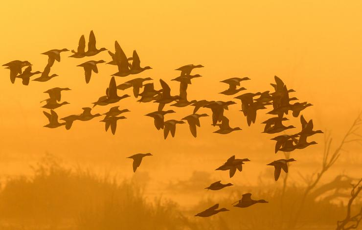 Large flocks of ducks present great opportunity, but things might get crazy if several shooters are involved. Photo © T.T. Photo/Shutterstock