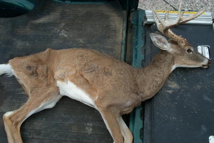 A buck infected with CWD.