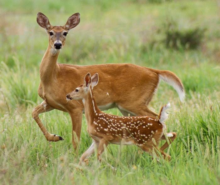 An angry doe attacked and killed a dog she felt was threatening her fawn. ©Russell Graves photo