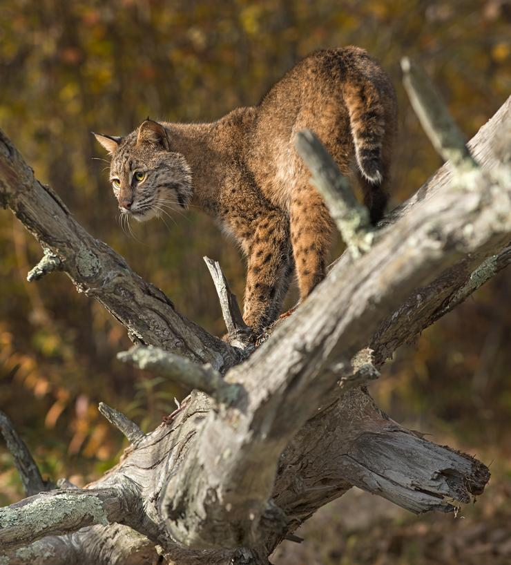 The New Hampshire Fish and Game Commission has approved a bobcat season for 2016-'17. Photo © Geoffrey Kuchera/Shutterstock.com