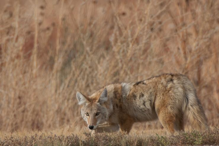 Hunting pressured coyotes? You're not alone. Image by Russell Graves