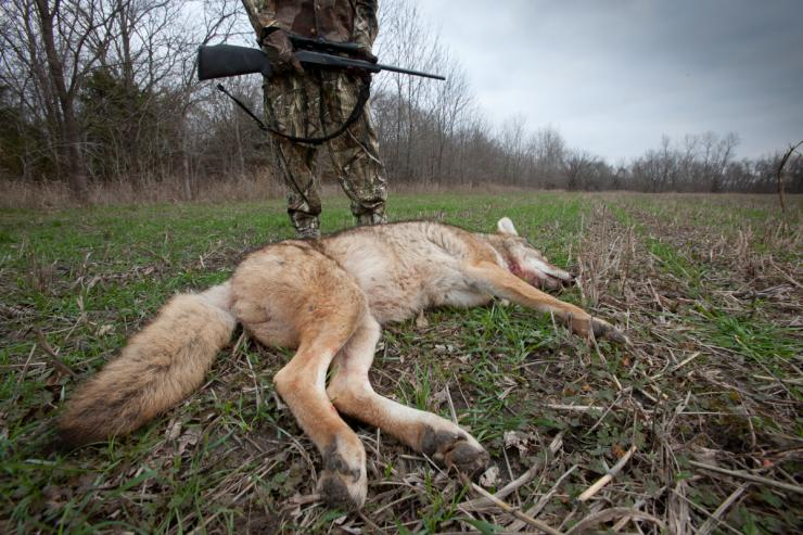 Having trouble calling coyotes? You might be making some of these common mistakes. Image by Russell Graves