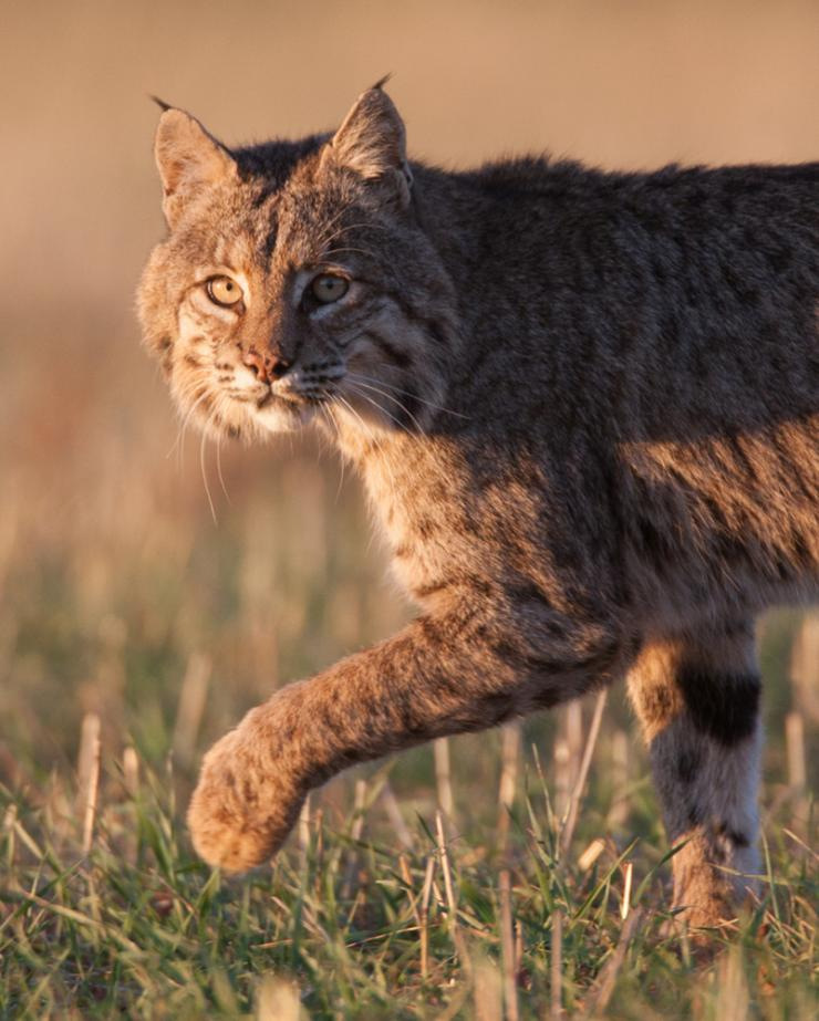 New Hampshire will decide soon whether to open a hunting and trapping season for bobcats. Photo © Russell Graves