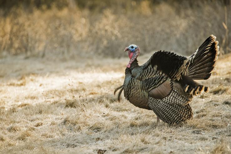 You don't have to be a champion caller to bring a gobbler into range. (johnhafner.photography image)