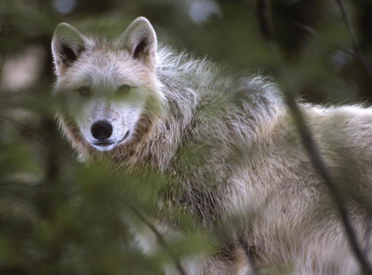 Colorado wildlife commissioners recently opposed the introduction of wolves into the state. Photo by John Hafner