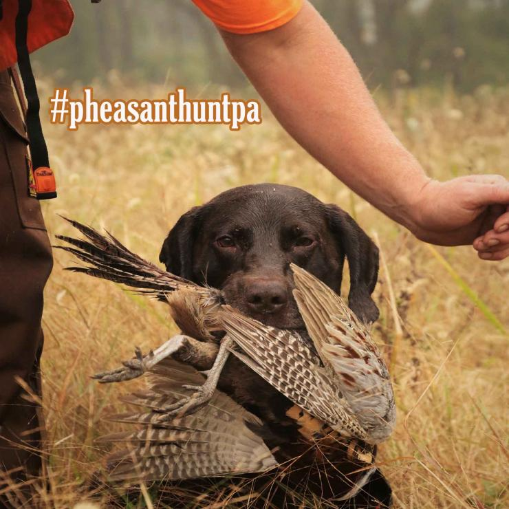 Successful pheasant hunters are encouraged to hashtag pheasant hunting photos on social media at #pheasanthuntpa. (Pennsylvania Game Commission courtesy photo)